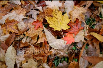 Multi-Colored Leaves